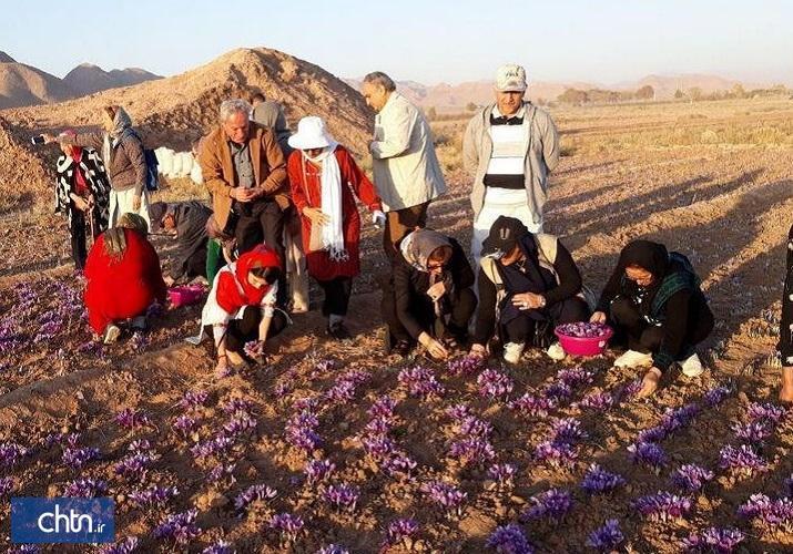 گردشگران ایتالیایی در مزارع گناباد زعفران چیدند