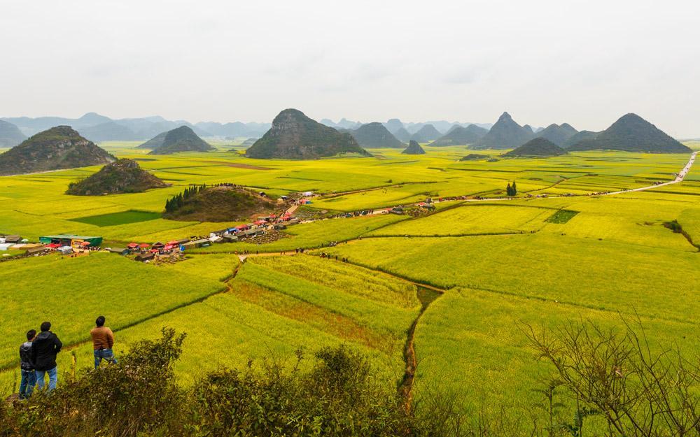 مزارع طلایی کلزا در لوپینگ چین